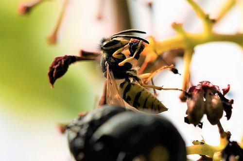 short head wasp  wasp  sting