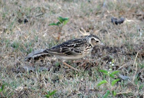 short-toed lark bird short-toed