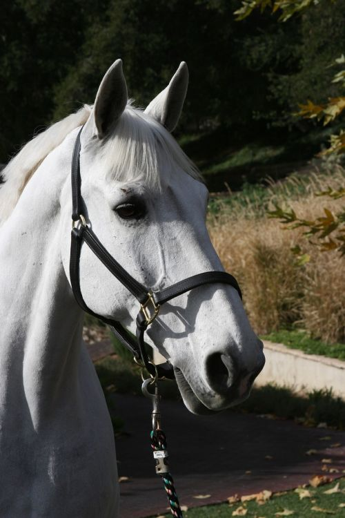 show horse white horse dressage