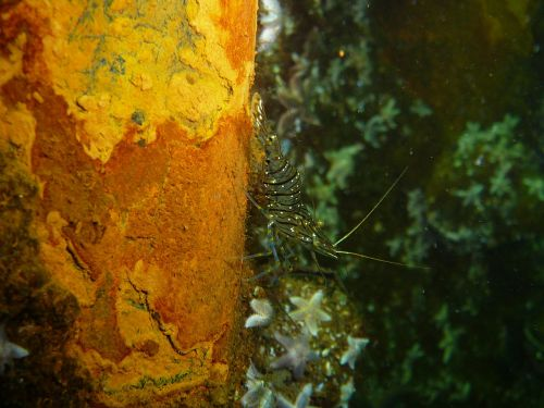 shrimp baltic sea scampi