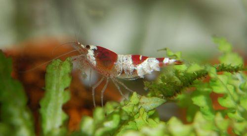 shrimp water creature aquarium