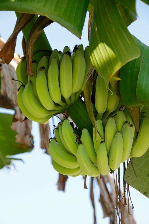 shrub banana banana plant