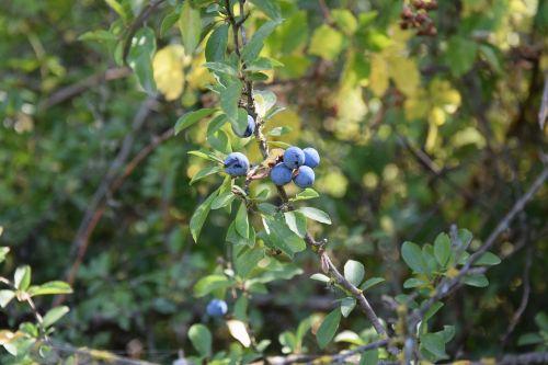 shrub soft fruits prunus spinosa