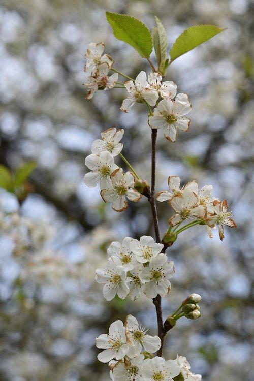 shrub flower  small white flowers  spring-flowering