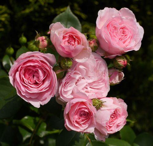 shrub rose in full bloom floribunda
