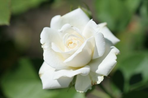 shrub rose rosa 'paloma blanca white