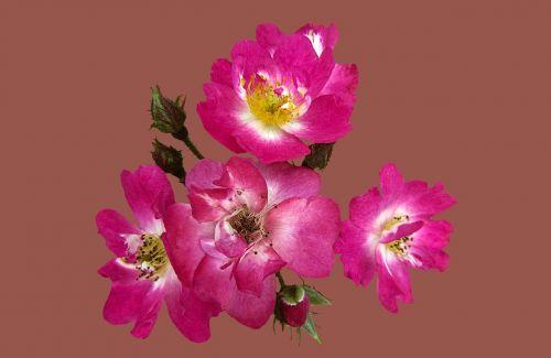 shrub rose robin hood rosengarten bad kissingen rose city bad kissingen