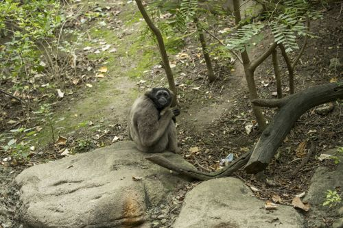 Shy Monkey