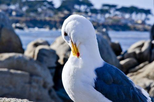Shy Seagull