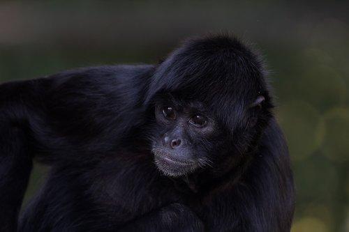 siamang gibbon  ape  gibbon