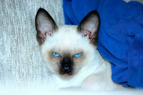 siamese cats blue eyed scowl