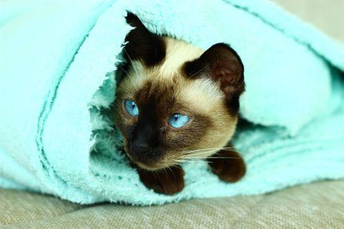 siamese cats cat turquoise