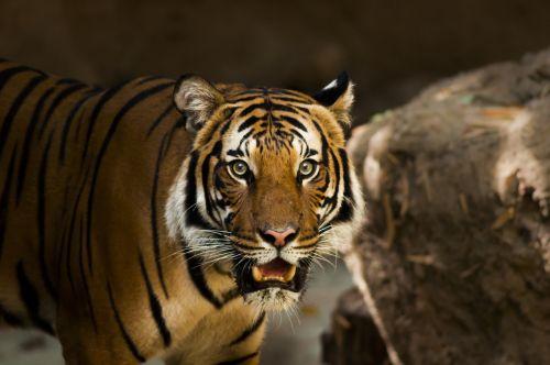 siberian tiger tiger siberian