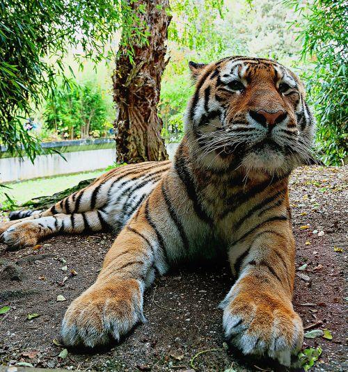 siberian tiger predatory animals zoo münster tiger