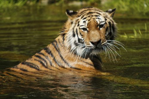 siberian tiger water swim