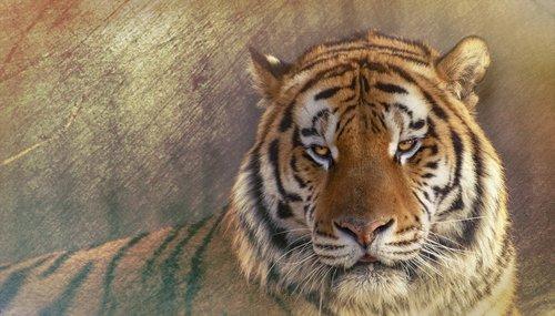 siberisk tiger  siberian tiger  the amur tiger