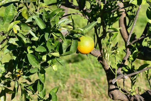 sicily lemon fruit