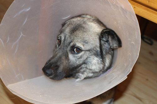 sick dog elkhound funnel