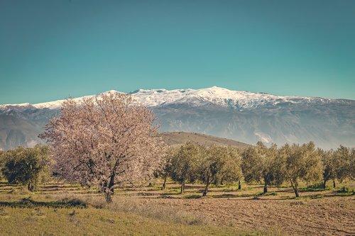 sierra nevada  cherry  blossom