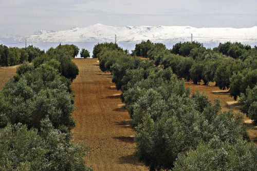 sierra nevada snow caped olive tree