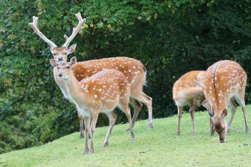 sika deer hirsch noble deer