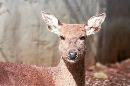 Sika, elnias, Sika & nbsp, elnias, gyvūnas, žinduolis, laukiniai, subtilus, grakštus, ausys, kailis, raudona, russet, auburn, sika deer female