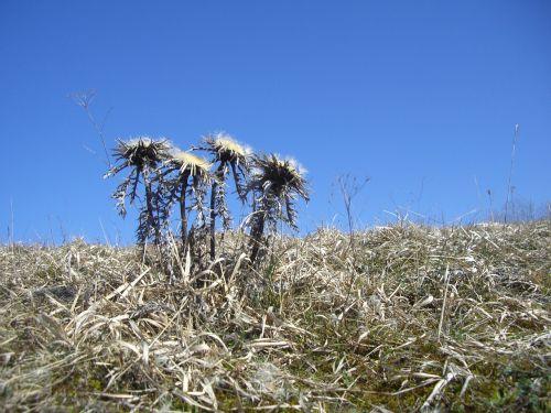 silberdisteln thistles plant