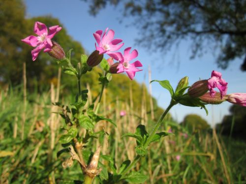 silene dioica red campion wildflower