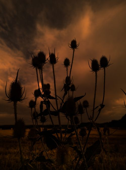 silhouette nature thistle
