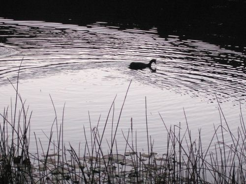 Silhouette Of A Waterbird On A Pond