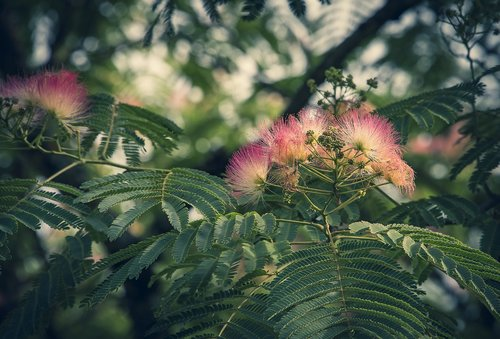 silk  tree silk  flower