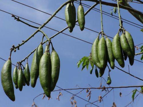 silk cotton nut nut silk cotton
