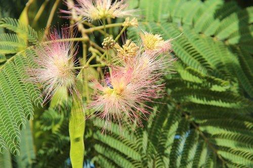 silk tree  mimosa of constantinople  shrub
