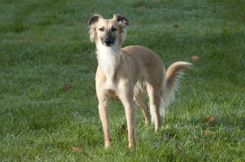 silken wind sprite longhaired whippet dog