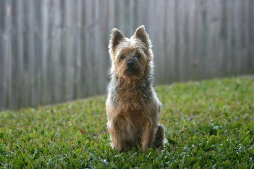 silky silky terrier australian silky terrier