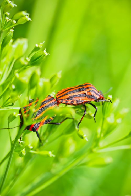 silphidae insect beetle