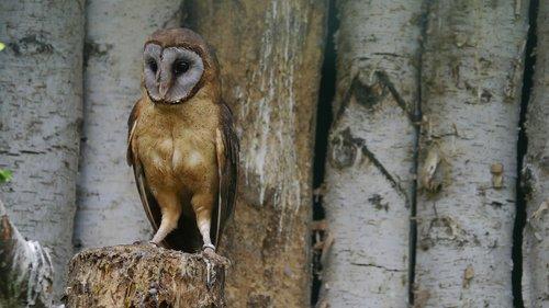 silver barn owl  bird  owl