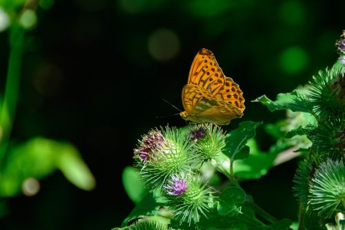 silver-bordered fritillary butterfly nature