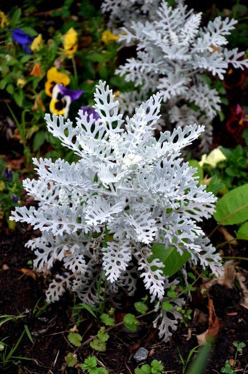 silver coloured groundsel suffrutex plants