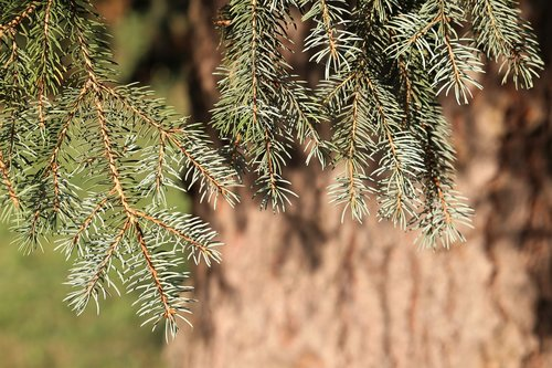 silver fir tree  abies alba  needles