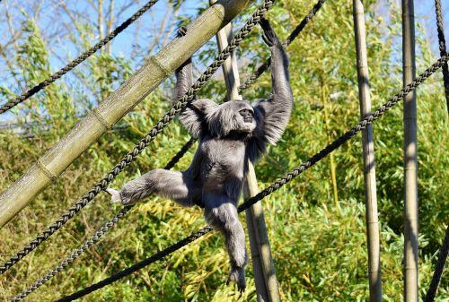 silver gibbon javan gibbon hylobates moloch