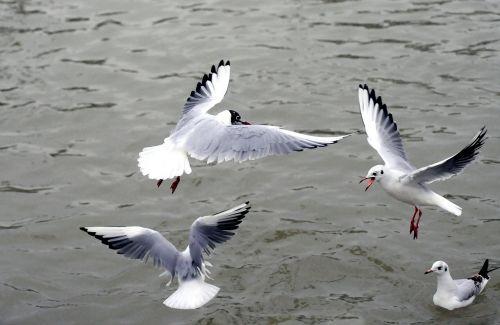 silver gull black-headed gull sea