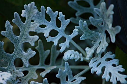 silver leaf groundsel jacobaea maritima