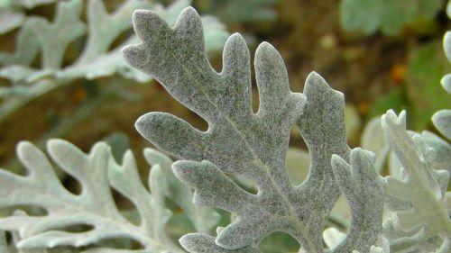 silver leaf tree plant leaf