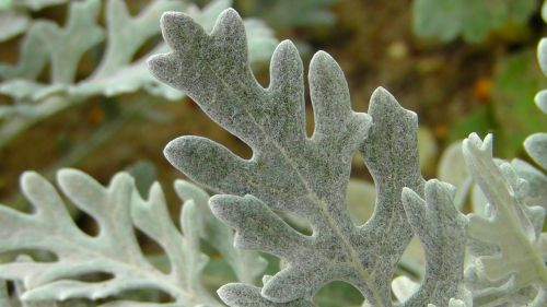 silver leaf,tree plant,leaf,leaves,plant,silver,park plant,garden plant,ornamental plant,park,beautiful,hairy,nature,close,structure,macro,furry