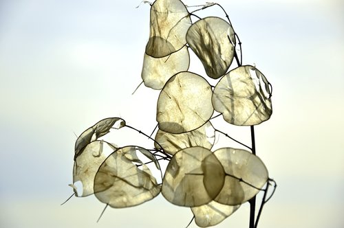 silver leaf  lunaria  brassicaceae
