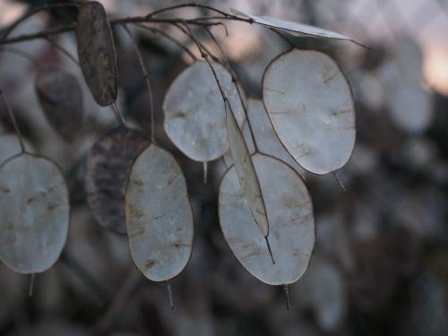 silver leaf lunaria silberling