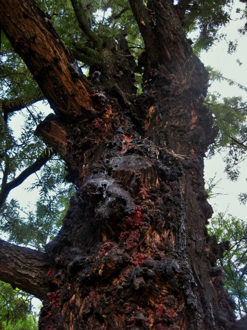 Silver Oak Tree Gum