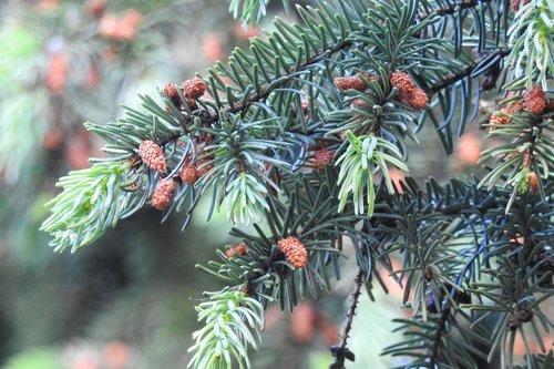 silver spruce  cones  sprig
