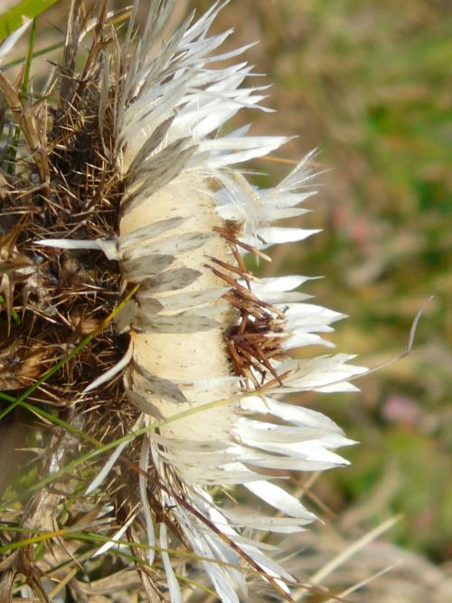 silver thistle carlina acaulis thistle